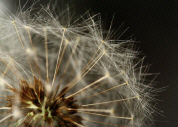 File:Dandelion clock detail.jpg