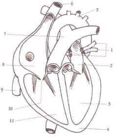 Exercice le coeur - Dessin du coeur humain ...